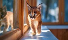 Le caracal, la plus mignonne espèce de chat? Kittens Cutest Baby, Cute Kittens, Cats And Kittens, Baby Caracal, Caracal Cat, Serval, Beautiful Cats, Animals Beautiful, Warrior Cats