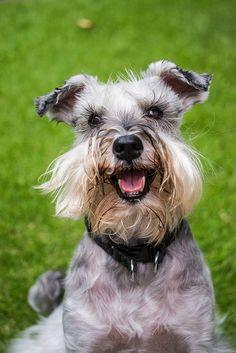Happy little mini schnauzer face, so adorable❤️