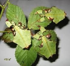 """Il mimetismo inoltre non è sempre un """"vantaggio evolutivo"""", visto che a volte i Phyllium si mangiano tra di loro, non distinguendosi dalle foglie."""