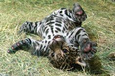 Jaguar cub!