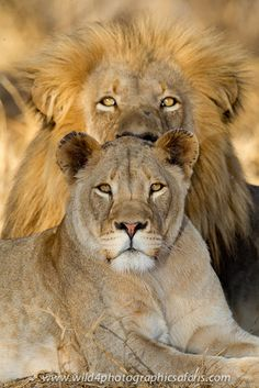 A lovely Lion couple. Beautiful Lion, Animals Beautiful, Baby Animals, Cute Animals, Wild Animals, Lion Couple, Lion Family, Lion Love, Lions In Love