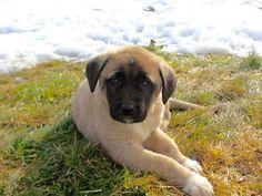 Rare Registered Anatolian Shepherd Puppies (Kangals) Winnipeg Manitoba image 5