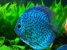 Blue Discus Fish | ... Update pictures for the Atlum Flora, Altum x Carnation, Blue Snakeskin