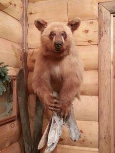 Blond Black Bear mount Taxidermy done by the Mad Taxidermist: Rob Reysen    www.lakeviewtaxidermy.com