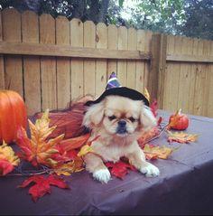 Pekingese puppy costume!