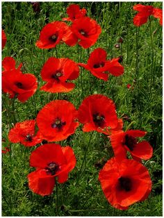 Sends me to a very peaceful place . My Flower, Flower Art, Beautiful Flowers, Poppy Pattern, California Poppy, Remembrance Day, Red Poppies, Champs, Planting Flowers