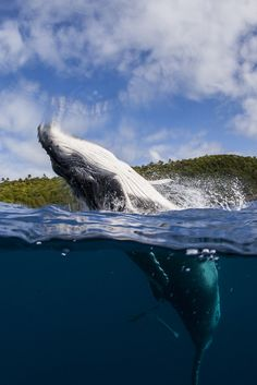 Humpback Whale breach over under.
