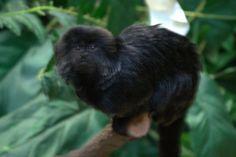 Goeldii's monkey (Callimico goeldii) at Brookfield Zoo [960 x 640][OC] Brookfield Zoo, Underwater Creatures, Primates, Reptiles, Cubs, Cheetah, Monkey, Oc, Animals