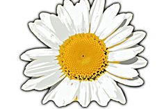 Oxeye Daisy  Glorisa Daisy  Design by artist Jaclyn Quigley. Digitally Edited from artist's Photo. Original Artwork.  #floral #flower #daisy #white #nature #jartcreations #artist #jartcreations #redbubble #custom #customproducts #designs #art #artist #artwork #pod #nature #wildlife #patterns #clothing #apparel #gifts #wallart #cases #skins #accessories #homedecor #bags #greetingcards #artistic #oxeyedaisy
