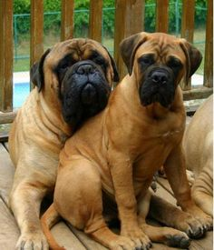 Young Bullmastiff with older Bullmastiff