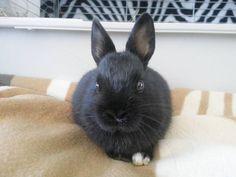 Top model En el vídeo de mañana podrán ver tal y como votaron un día entero con mi enana en casa   Ella seguirá posando pero no hay más fotos por hoy. Sigo trabajando hasta que aguante el cuerpo.  #uni #conejo #conejos #conejito #conejitos #coneja #conejas #conejita #conejitas #conejoenano #conejotoy #conejobelier #bunny #bunnies #bunnylove #bunnytoy #rabbit #rabbits #rabbitlove #bunniesofinstagram #rabbitsworldwide #madrid #lanzarote #enanossaltarines #mery #martes #mascota #animales #amor…