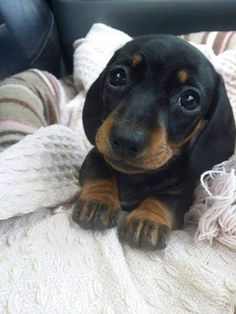 Cute dog photos - Page 23 of 23 - Gloria Love Pets Cute Baby Dogs, Cute Dogs And Puppies, Cute Baby Animals, Funny Animals, Adorable Puppies, Wild Animals, Dachshund Funny, Dachshund Puppies, Dapple Dachshund