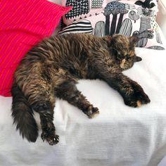 Happy Caturday! ♥️ #siiritheexotic #kissa #cat #neko #katt #ねこ #ネコ #猫 #instacat #catsofinstagram #catsgram #eksoottinenlyhytkarva #exoticshorthair #exoticsofinstagram #crazycatlady #ilovecat #pawsome #cosycathome #caturday @oravankesapesa #oravankesäpesä #marimekko Exotic Shorthair, Marimekko, Crazy Cat Lady, I Love Cats, Neko, Cats Of Instagram, Happy, Animals, Animales