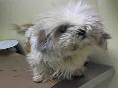 SAFE--Pulled by Anarchy Animal Rescu--SUPER URGENT WHEAT THINY – A1032609 *** MISSING LEFT EYE ***  FEMALE, WHITE / CREAM, MALTESE MIX, 2 yrs STRAY – STRAY WAIT, NO HOLD Reason STRAY Intake condition EXAM REQ Intake Date 04/08/2015, From NY 10305, DueOut Date 04/11/2015,