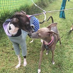 WEBSTA @ rintamaray - ひまわりちゃん、こんにちは💓Penny says hi to Himawari(Sunflower)#italiangreyhound #イタグレ #iggy #海おさ #umiosa #dogsofinstaworld #iggiesofinstagram