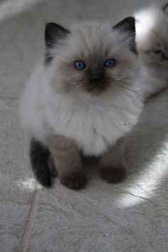 Wonderful Caring for a Ragdoll Cat Ideas Rag Doll Cat Kittens brown colorpoint babygirl ragdoll Collicatin kissala / Collicatin cattery Cute Cats And Kittens, I Love Cats, Crazy Cats, Kittens Cutest, Pretty Cats, Beautiful Cats, Animals Beautiful, Cute Animals, Ragdoll Cat Colors