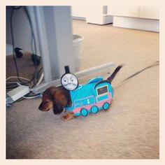 Thomas The Train Doxie