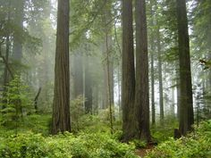 Redwood trees reveal history of West Coast rain, fog, ocean conditions       http://phys.org/
