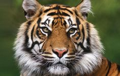 We've gathered our favorite ideas for Snow Leopard Safari Holidays Natural World Safaris, Explore our list of popular images of Snow Leopard Safari Holidays Natural World Safaris. Anaconda Verde, Siberian Tiger, Bengal Tiger, Jungle Animals, Animals And Pets, Smiling Animals, Wild Animals, Tiger Species, Tigers