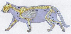 Körperbau von Katzen