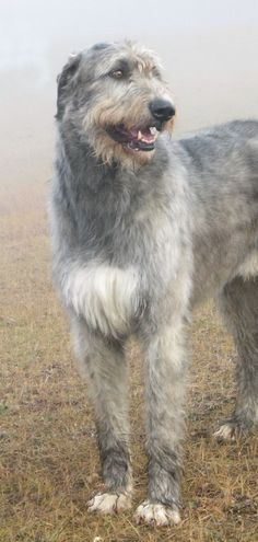 I will have a wolfhound in the future!! most amazing dogs ever!! Ch.Loneoak Grady At Mistyglen4 by sibsgraphics.deviantart.com on @deviantART