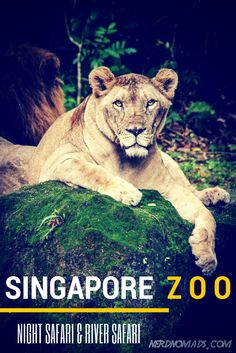 Have you been to Singapore Zoo? It is such an amazing zoo! #zoo #singaporezoo #singapore http://nerdnomads.com/singapore-zoo-river-safari