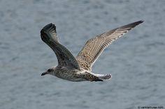 gull flying - Cerca con Google