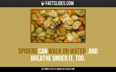 Spiders can walk on water, and breathe under it, too.