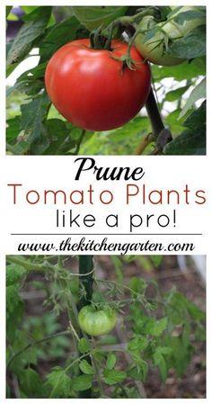 How to Prune Tomato Plants #Organic_Gardening