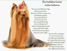 "The Yorkshire Terrieri  This is so true, I have a girl Yorkshire This poem describes her to a ""T"""