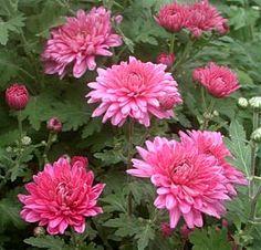 Chrysanthemum Indicum-Hybride 'Schweizerland' - Herbst-Chrysantheme