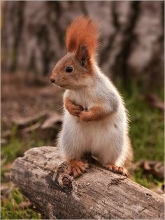 Sweet squirrel