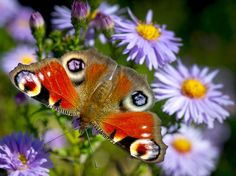 A European Peacock Butterfly (Inachis io) unfolds its wings in the sun on a blossom in a garden in Frankfurt an der Oder, eastern Germany, Sept. 20, 2012. Because of its faux 'eyes' it has been used in research studying the role of eye spots as predator deterrents.  Photo by Patrick Pleul/AFP/GettyImages via boston.com #Peacock_Butterfly #Patrick_Pleul #boston_com