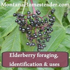 How to identify and forage for elderberry and make elderberry juice and syrup. Montana Homesteader