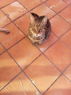 Katze wartet auf Fressen Cats, Animals, Maine Coon Cats, Kunst, Gatos, Animales, Animaux, Animal, Cat