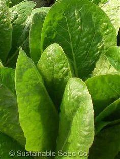 Jericho Lettuce - Organic & Heirloom