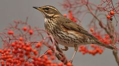 Redwing eating red berries