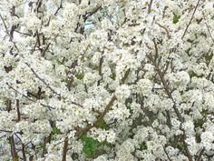 Blackthorn (prunus spinosa). Height & spread up to 4m. White scented blossom in Spring. Black berries (sloes) in Autumn. Moist but well-drained soil. Easy to grow. Native to Scotland.