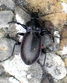 Ground beetles large long legged shiny blue black or brown ground beetle eats slugs and snails sciox Images