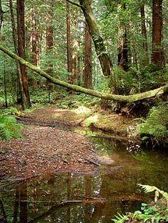 Butano State Park - Creek Trail