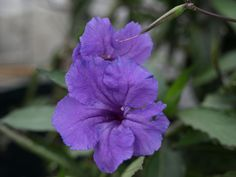 Ruellia brittoniana