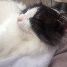 Guess what ? Nap time ! :-) #mollypetitcoeur #molly #chat #cats #catstagram #ilovemycat #pets #petstagram #ilovemypet #picoftheday #followme #chat_turc #turkish_cat #turkish_van #cute #cuteness #sweet #lovely #pandacat #catsofinstagram #miaou #minou #meow #loveme #caturday #caturday365 #cutepetclub #nap #naptime #ronron