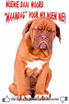 I hate Mondays funny cute dog days of the week mondays humor Monday Pictures, Funny Pictures, Monday Greetings, I Hate Mondays, Monday Memes, Monday Quotes, Funny Monday, Cute Office, Dog Poster