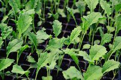 Lovely black cale. Grow it! Eat it!
