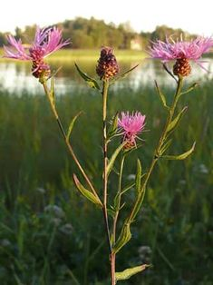 I'm collect the seaside meadow plants in western Finland. My idea is to create new beutiful seaside meadow at our place in Rauma.