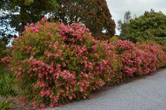 Australian Native Hedges | Gardening With Angus