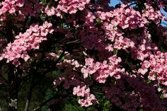 These lovely dogwood tree cultivars offer four-season garden beauty.