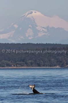 Mt. Baker near Anacortes, WA - Whale Watching with Island Adventures