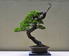Promoting and Expanding the Bonsai Universe Pine Bonsai, Bonsai Art, Bonsai Plants, Bonsai Garden, Air Plants, Bonsai Styles, Outdoor Gardens, Indoor Outdoor, Miniature Trees