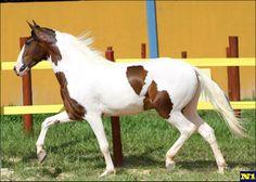 Campolina pinto horse
